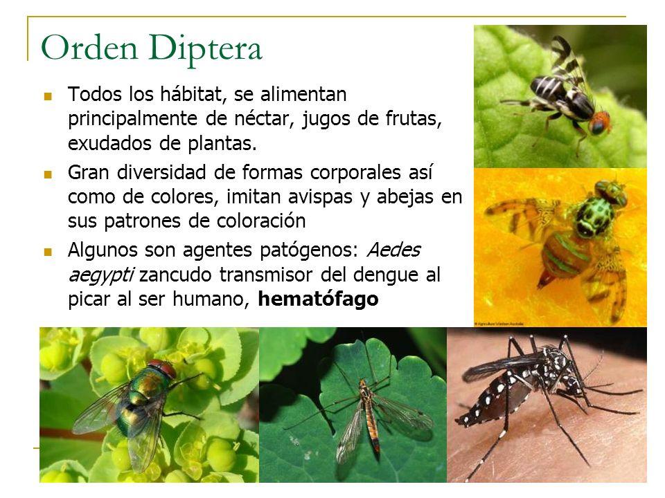 Orden Diptera Todos los hábitat, se alimentan principalmente de néctar, jugos de frutas, exudados de plantas.
