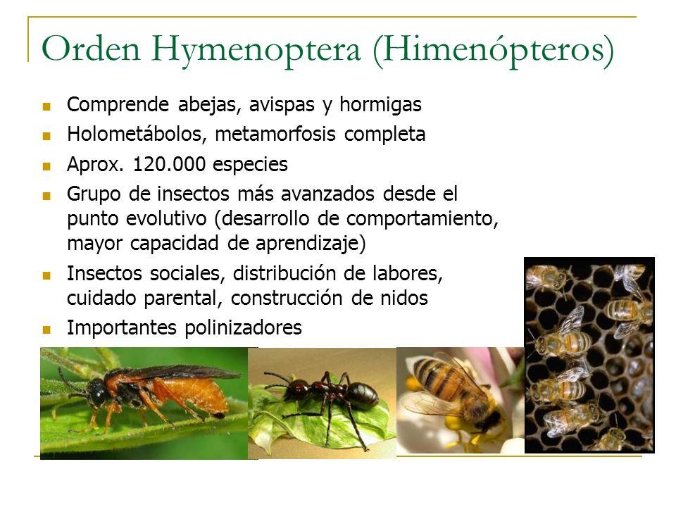 Orden Hymenoptera (Himenópteros)