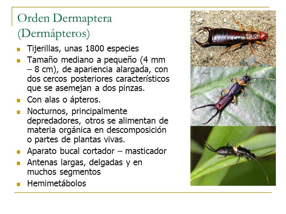 Orden Dermaptera (Dermápteros)