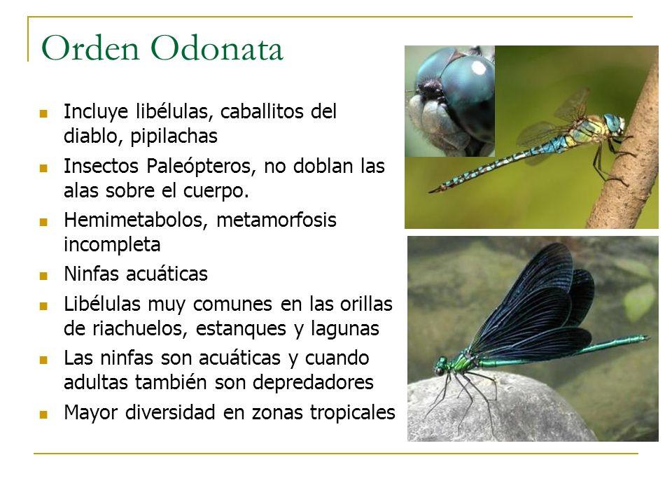 Orden Odonata Incluye libélulas, caballitos del diablo, pipilachas