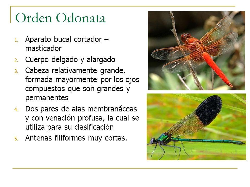 Orden Odonata Aparato bucal cortador – masticador