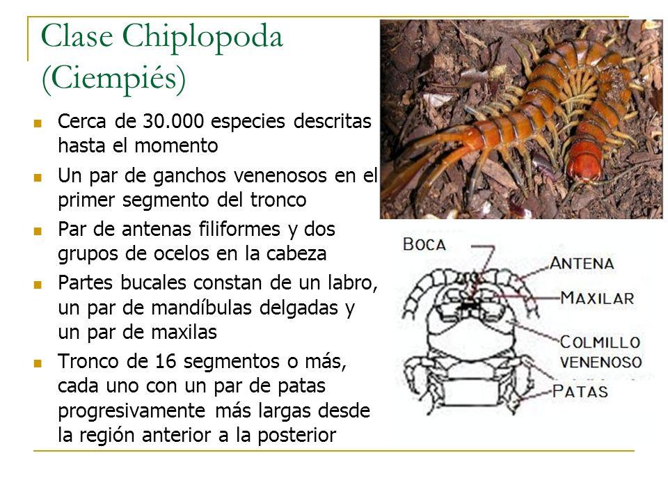 Clase Chiplopoda (Ciempiés)