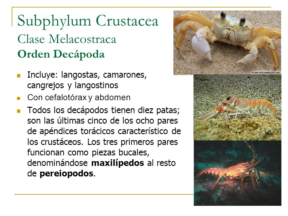 Subphylum Crustacea Clase Melacostraca Orden Decápoda