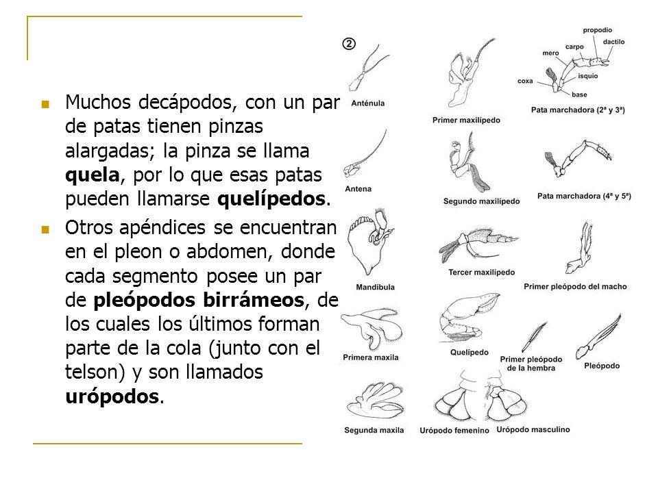Muchos decápodos, con un par de patas tienen pinzas alargadas; la pinza se llama quela, por lo que esas patas pueden llamarse quelípedos.