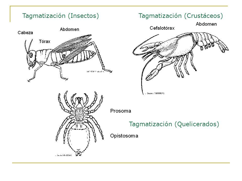 Tagmatización (Insectos)