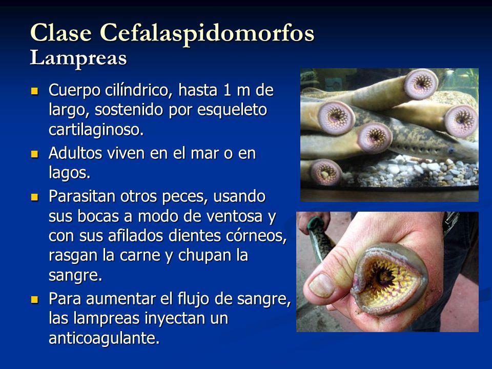 Clase Cefalaspidomorfos Lampreas