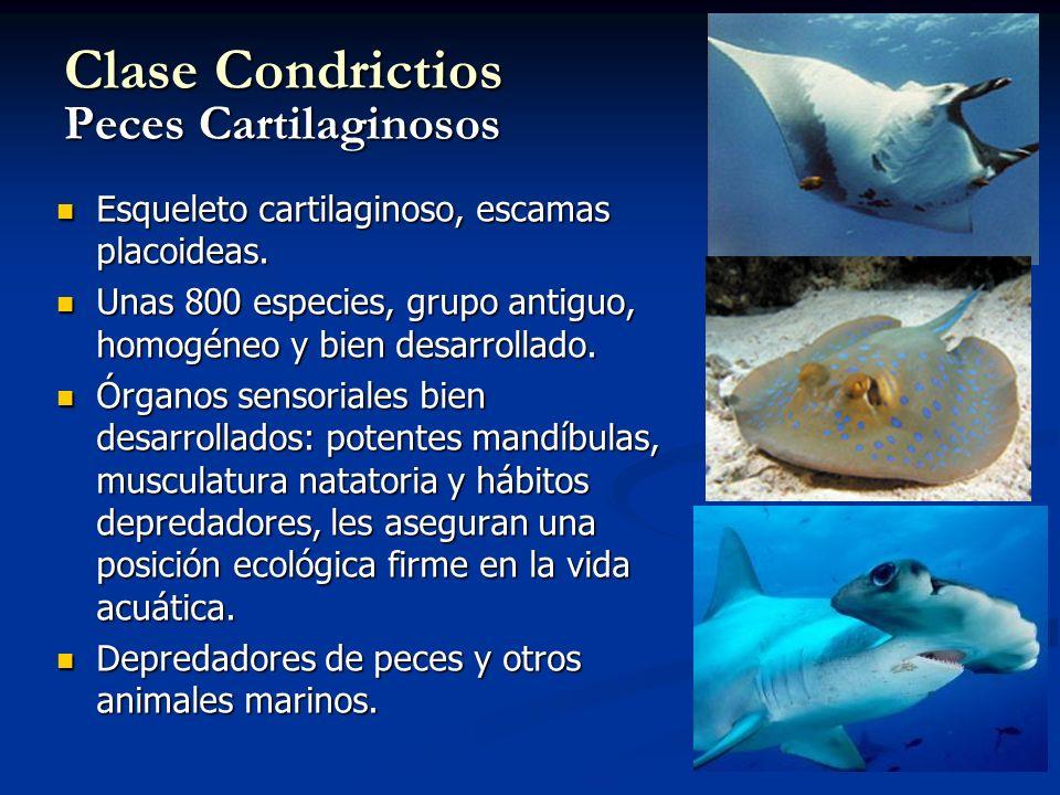 Clase Condrictios Peces Cartilaginosos
