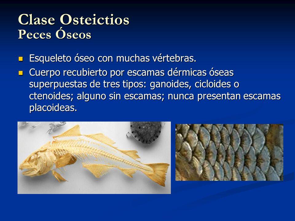 Clase Osteictios Peces Óseos