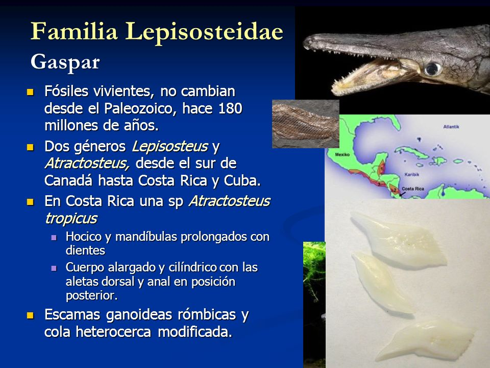Familia Lepisosteidae Gaspar