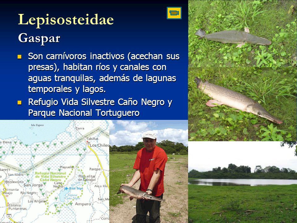 Lepisosteidae Gaspar