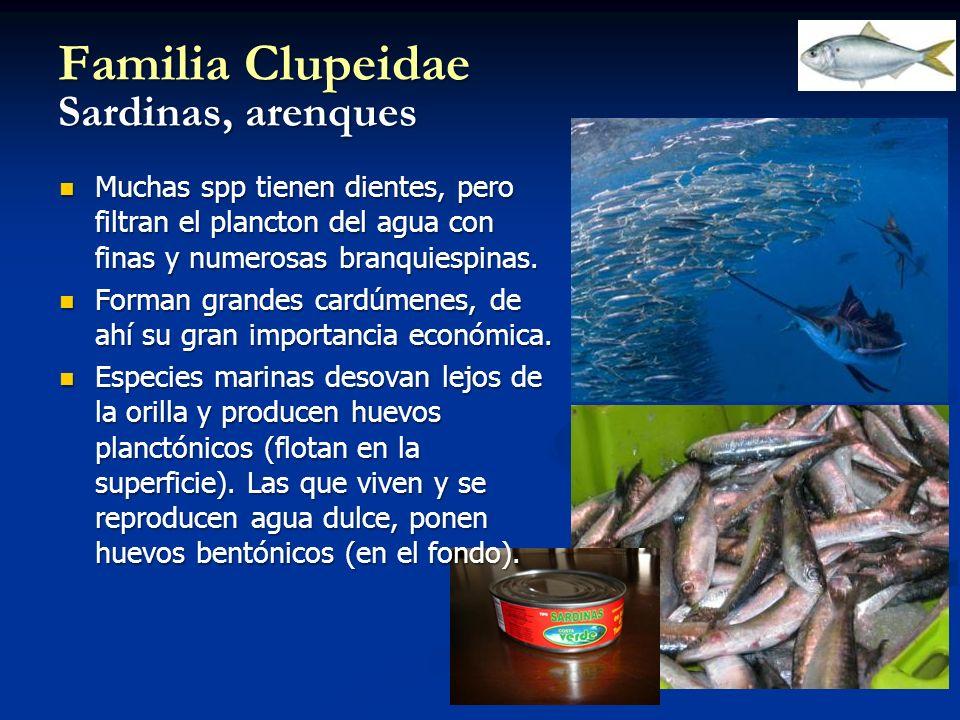 Familia Clupeidae Sardinas, arenques