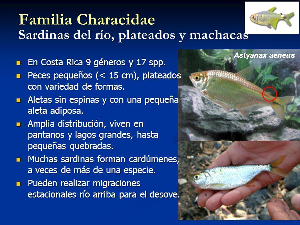 Familia Characidae Sardinas del río, plateados y machacas