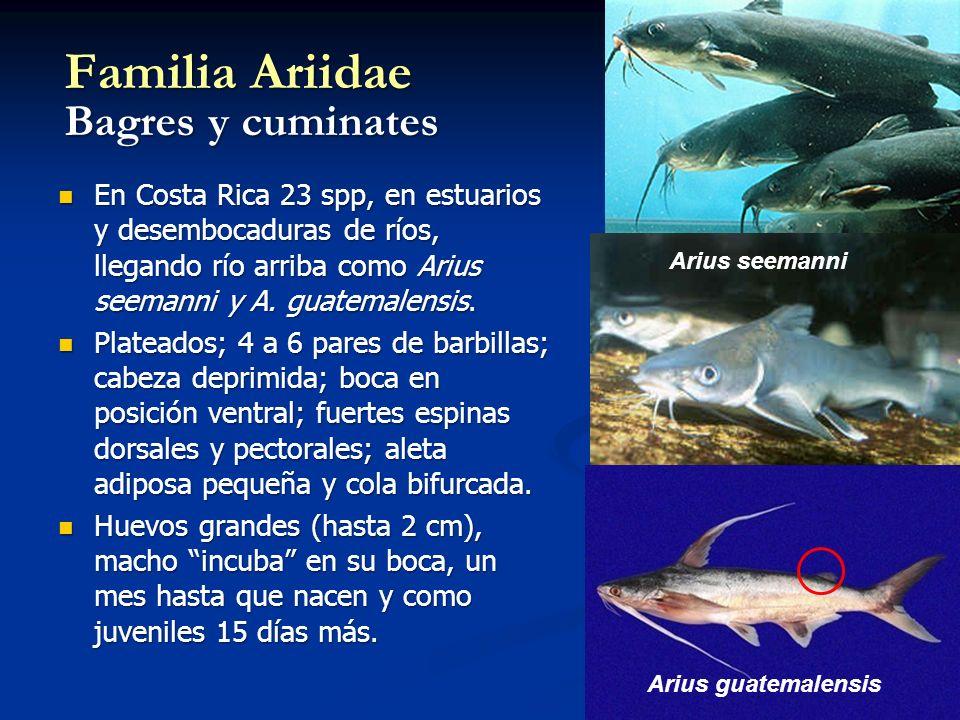 Familia Ariidae Bagres y cuminates