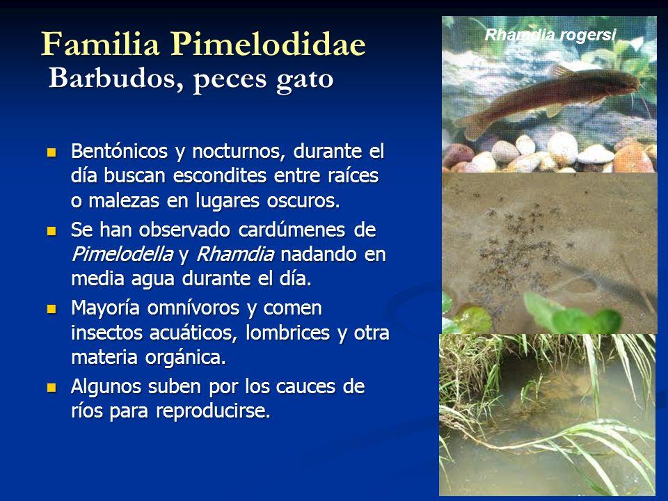 Familia Pimelodidae Barbudos, peces gato