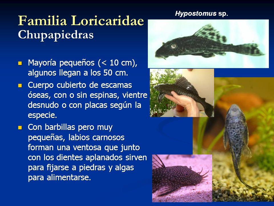 Familia Loricaridae Chupapiedras