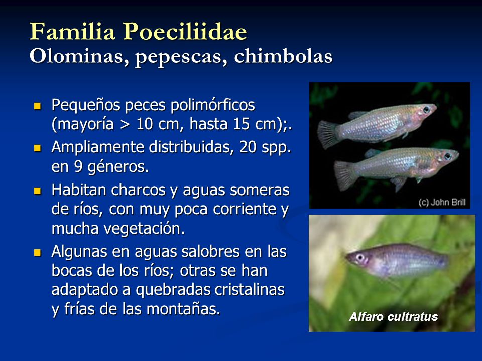 Familia Poeciliidae Olominas, pepescas, chimbolas
