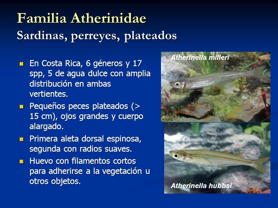 Familia Atherinidae Sardinas, perreyes, plateados