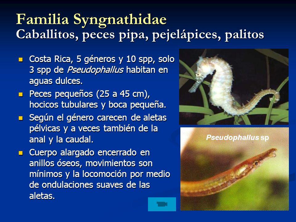 Familia Syngnathidae Caballitos, peces pipa, pejelápices, palitos