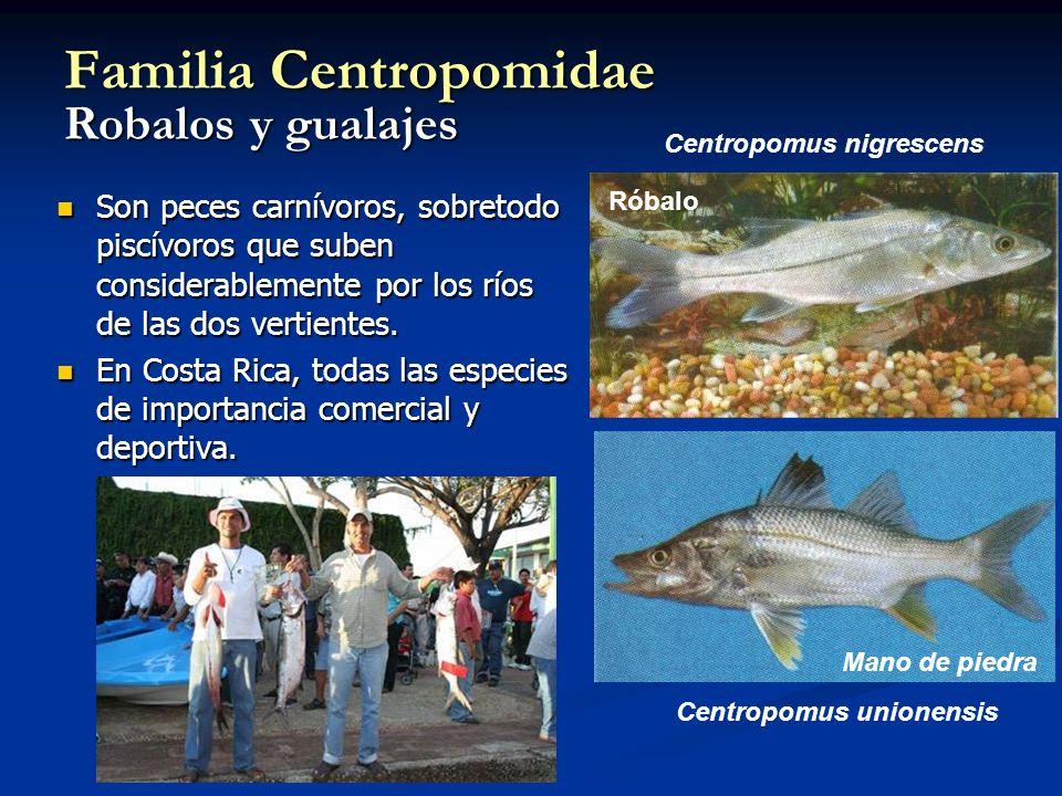 Familia Centropomidae Robalos y gualajes