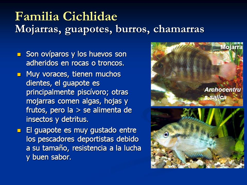 Familia Cichlidae Mojarras, guapotes, burros, chamarras