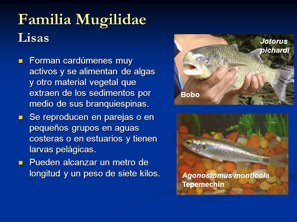 Familia Mugilidae Lisas