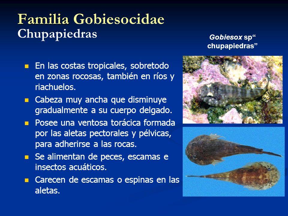 Familia Gobiesocidae Chupapiedras