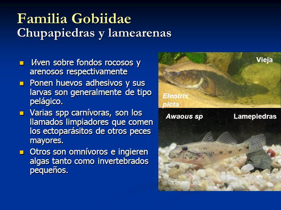 Familia Gobiidae Chupapiedras y lamearenas