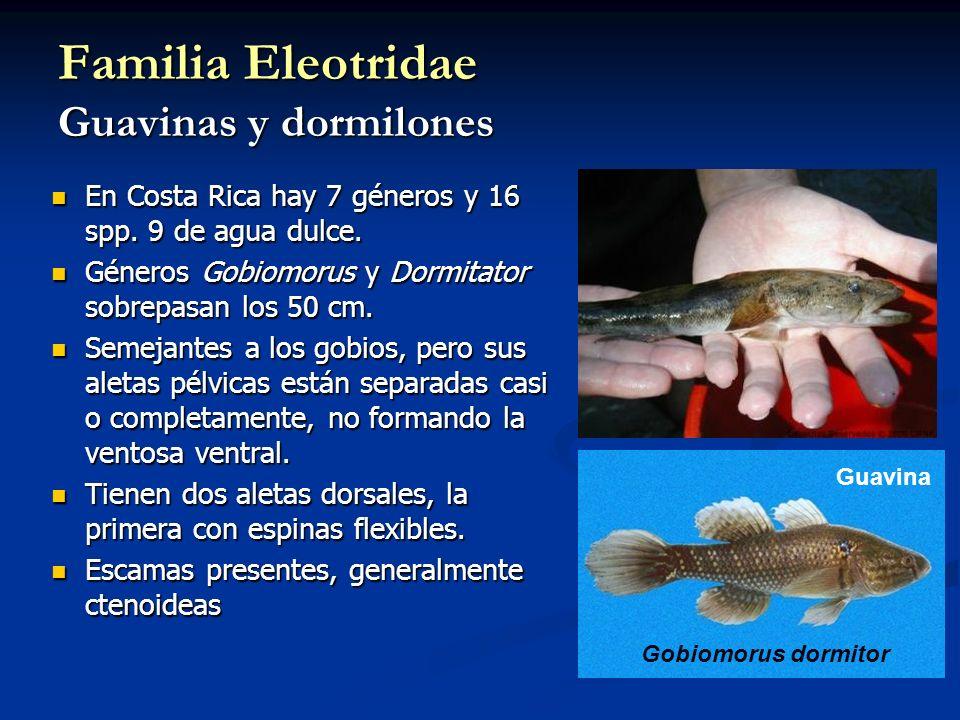 Familia Eleotridae Guavinas y dormilones