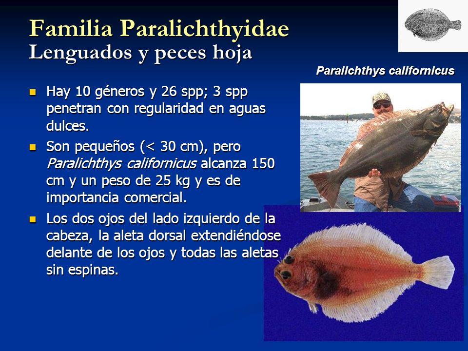 Familia Paralichthyidae Lenguados y peces hoja