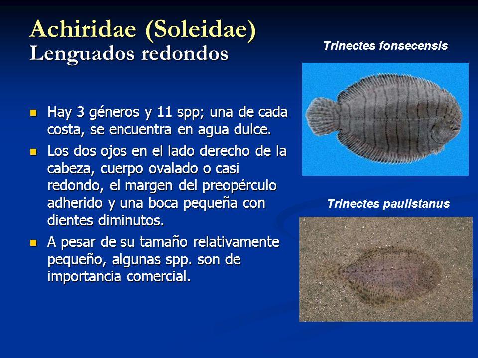 Achiridae (Soleidae) Lenguados redondos