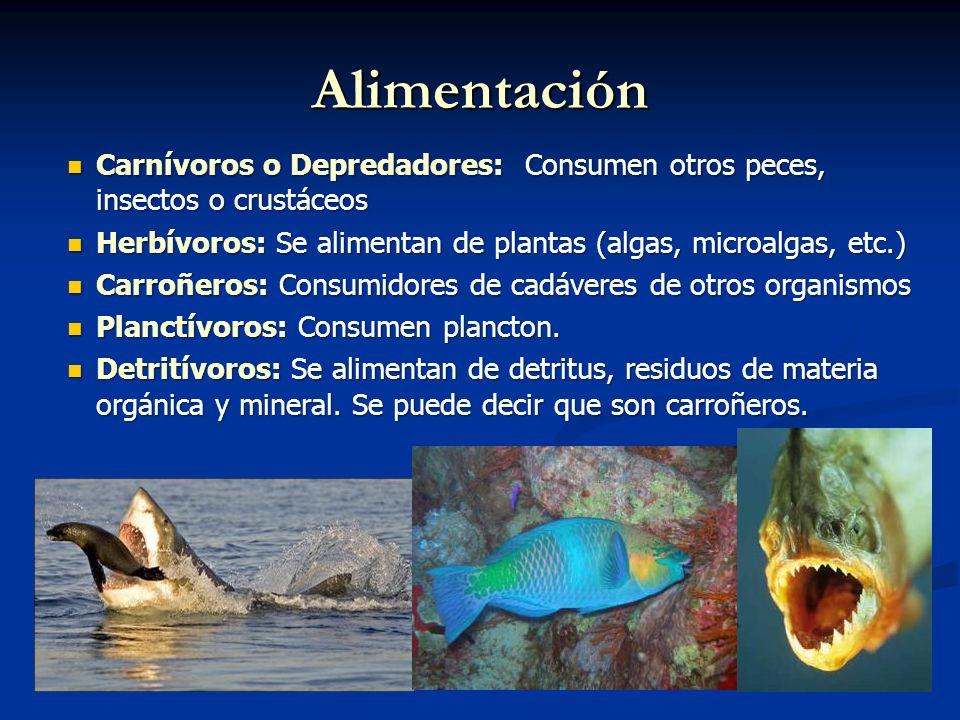 Qu son los peces ppt video online descargar for Peces alimentacion