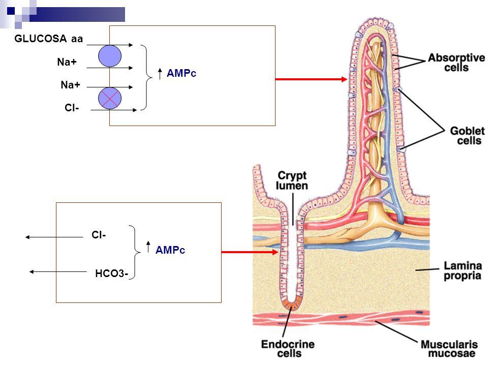 GLUCOSA aa Na+ AMPc Na+ Cl- Cl- AMPc HCO3-