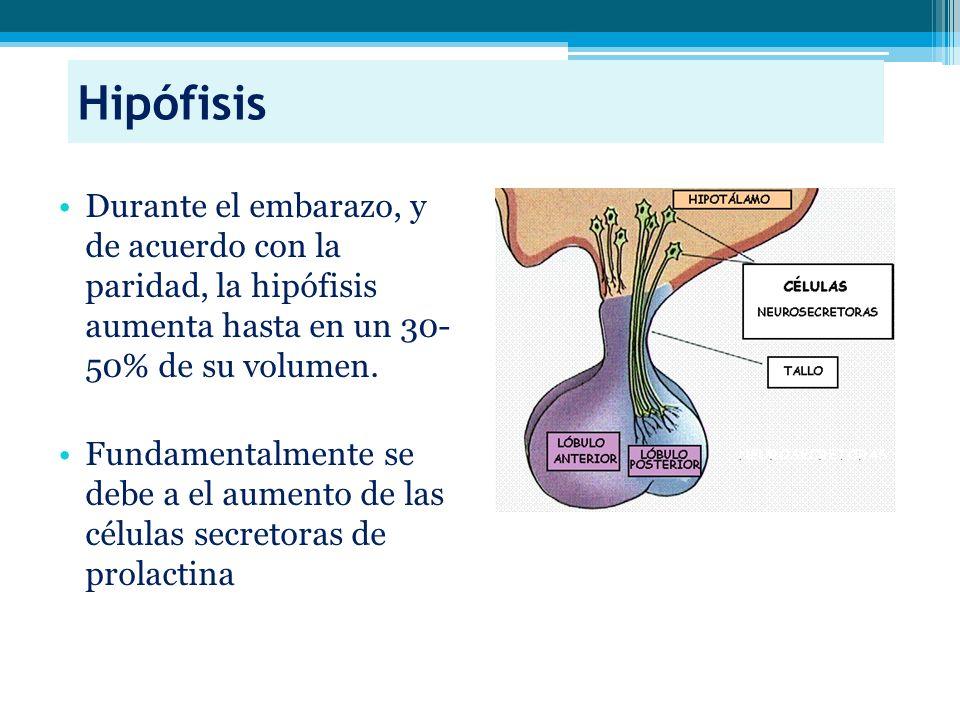 Hipófisis Durante el embarazo, y de acuerdo con la paridad, la hipófisis aumenta hasta en un 30- 50% de su volumen.