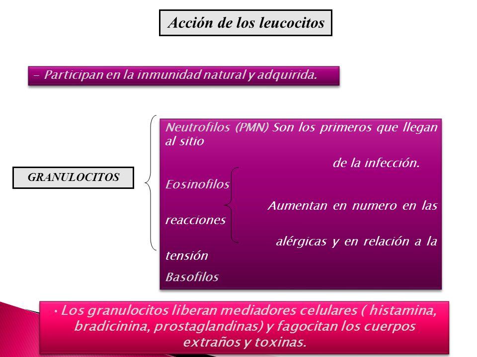 Acción de los leucocitos