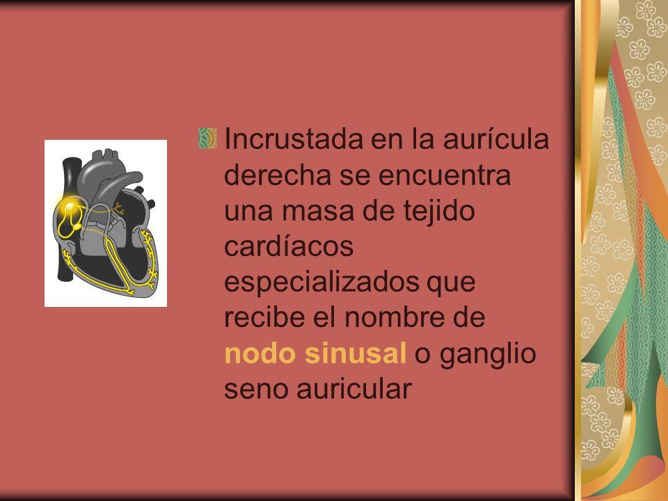 Incrustada en la aurícula derecha se encuentra una masa de tejido cardíacos especializados que recibe el nombre de nodo sinusal o ganglio seno auricular