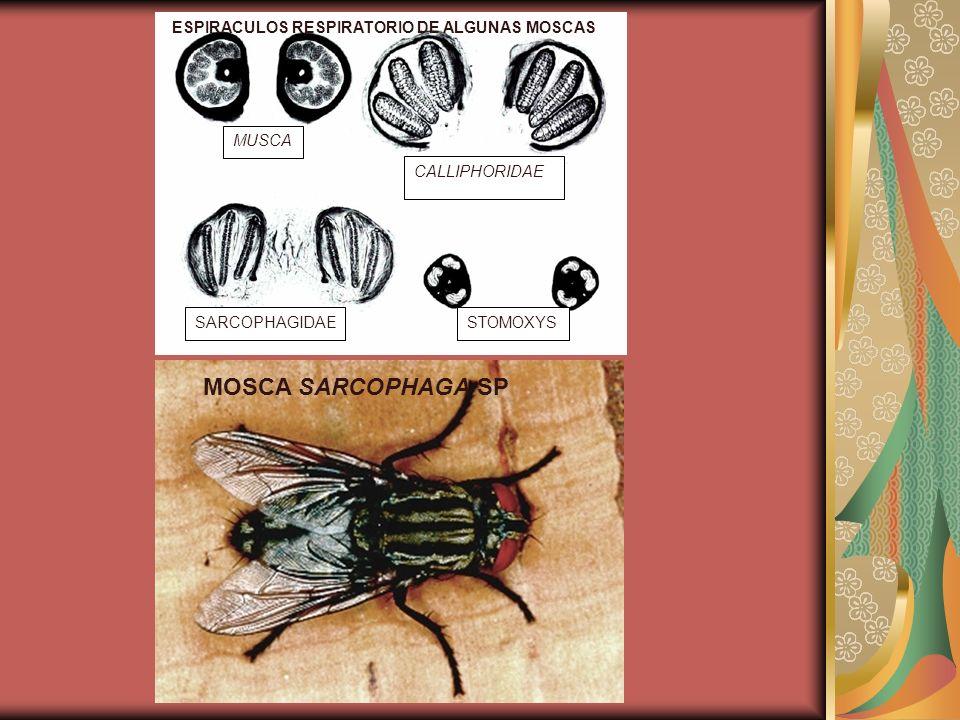 MOSCA SARCOPHAGA SP MUSCA CALLIPHORIDAE SARCOPHAGIDAE STOMOXYS