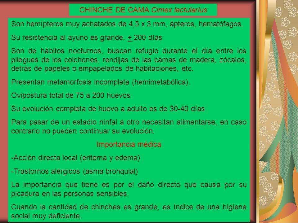 CHINCHE DE CAMA Cimex lectularius