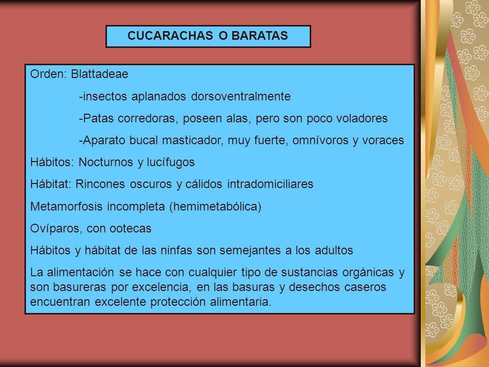 CUCARACHAS O BARATAS Orden: Blattadeae. -insectos aplanados dorsoventralmente. -Patas corredoras, poseen alas, pero son poco voladores.