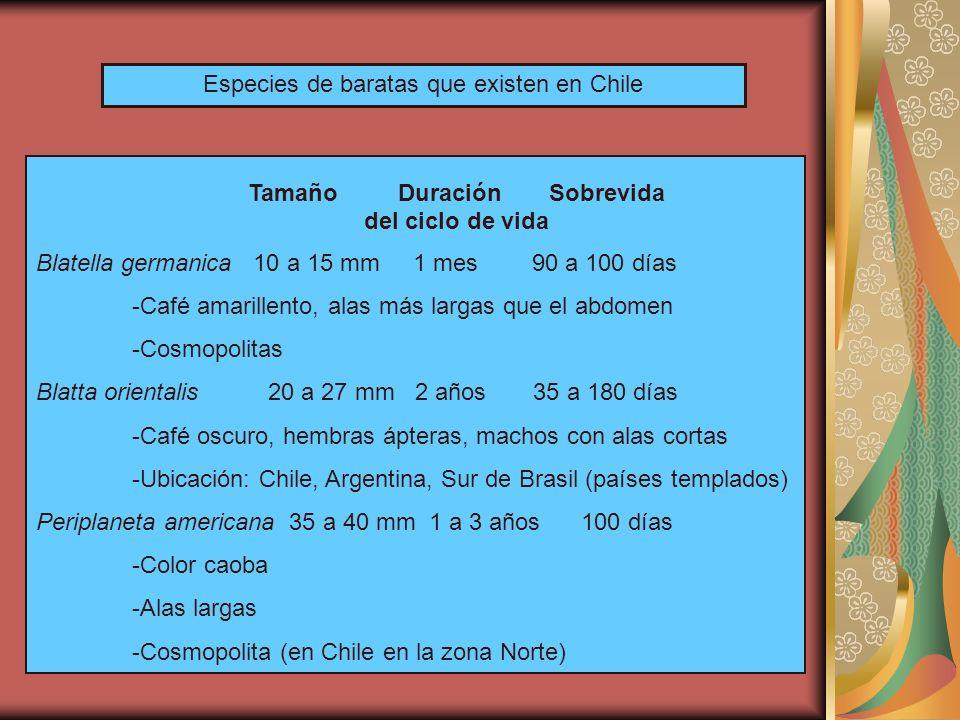 Especies de baratas que existen en Chile