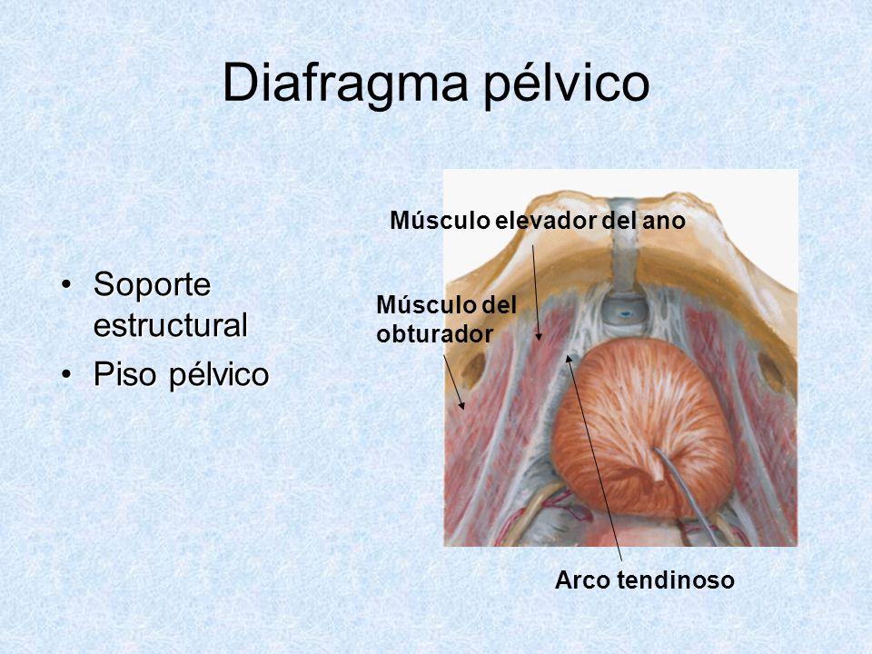Diafragma pélvico Soporte estructural Piso pélvico