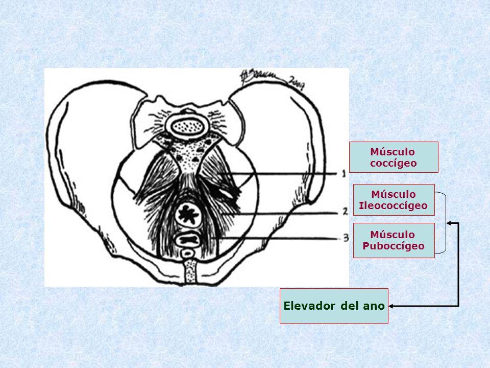 Elevador del ano Músculo coccígeo Músculo Ileococcígeo Músculo