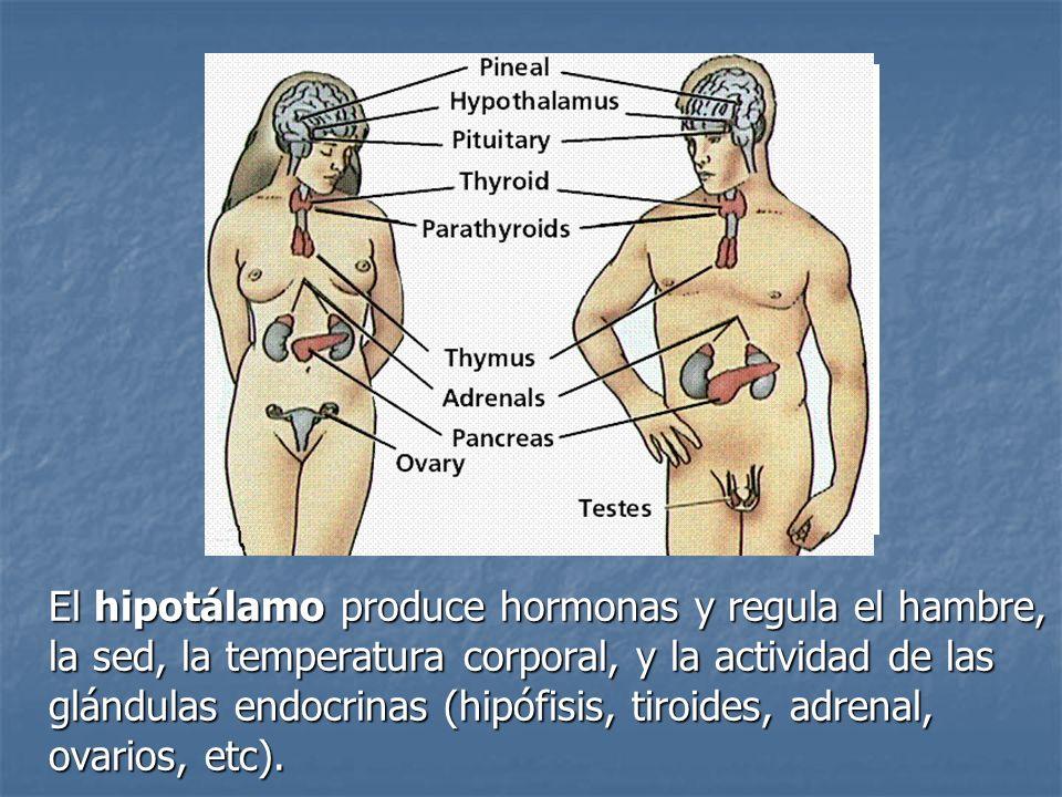 El hipotálamo produce hormonas y regula el hambre, la sed, la temperatura corporal, y la actividad de las glándulas endocrinas (hipófisis, tiroides, adrenal, ovarios, etc).