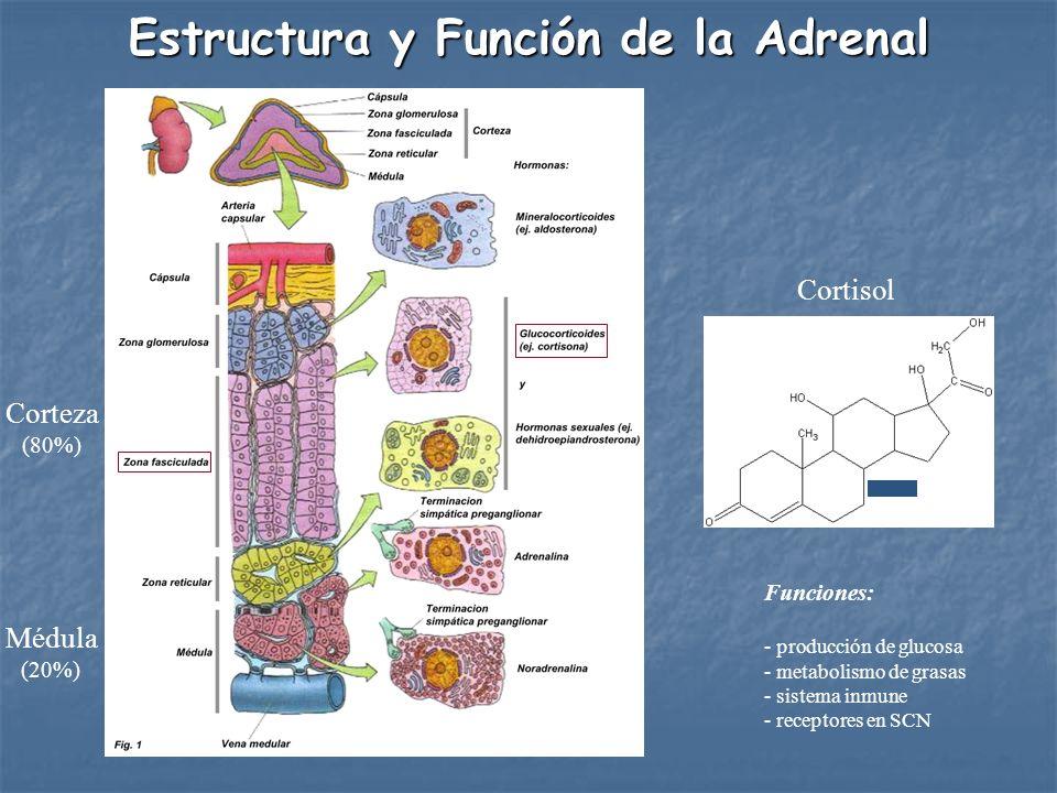 Estructura y Función de la Adrenal