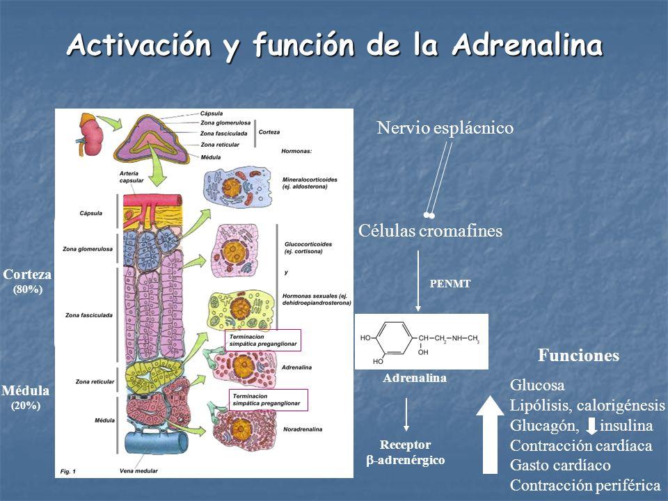 Activación y función de la Adrenalina