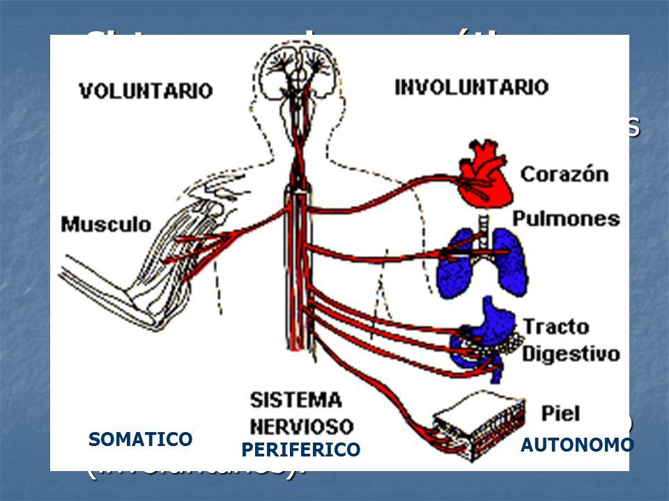 Sistema nervioso somático: neuronas sensoriales y neuronas motoras que conducen impulsos a los músculos esqueléticos (voluntarios).