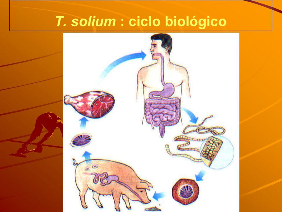 T. solium : ciclo biológico