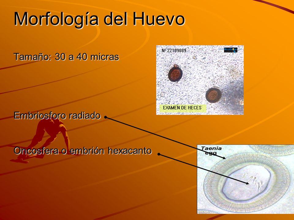 Morfología del Huevo Tamaño: 30 a 40 micras Embriosforo radiado Oncosfera o embrión hexacanto