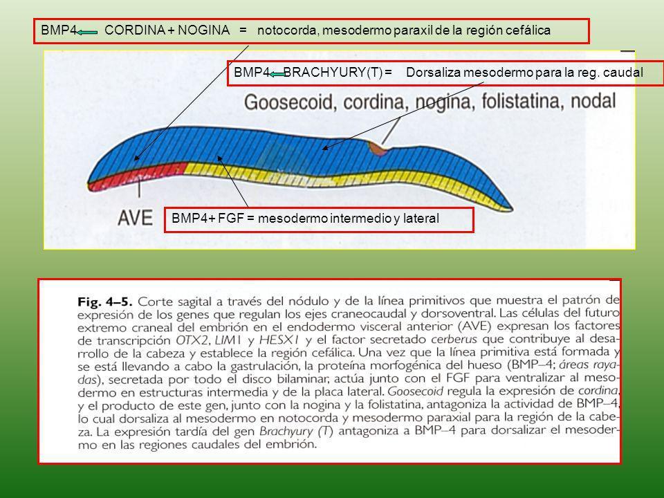 BMP4 CORDINA + NOGINA = notocorda, mesodermo paraxil de la región cefálica