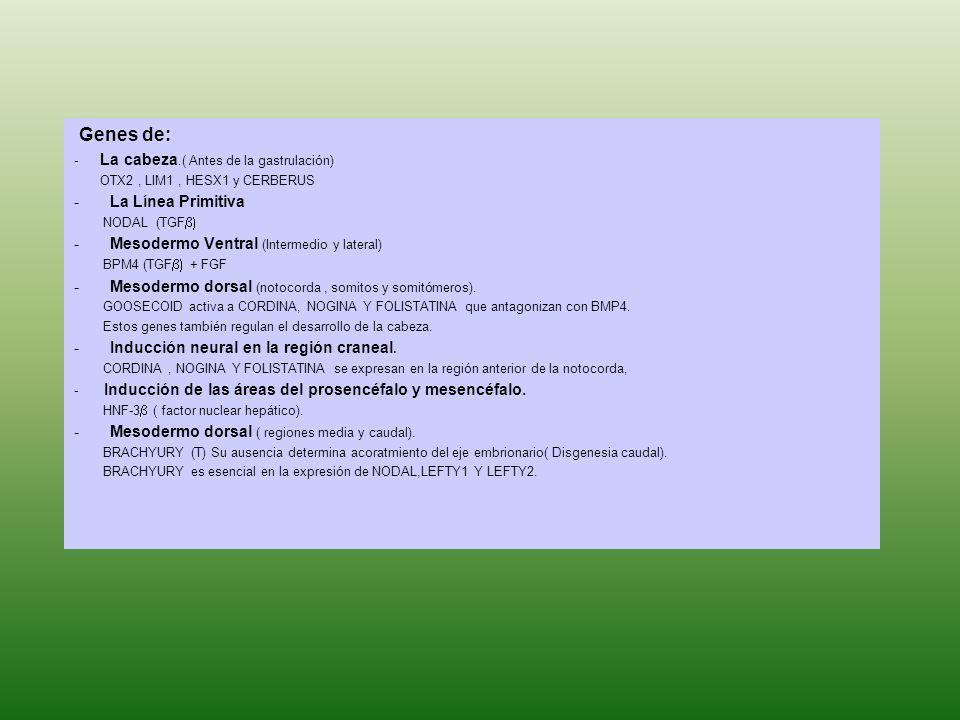 Genes de: La Línea Primitiva Mesodermo Ventral (Intermedio y lateral)