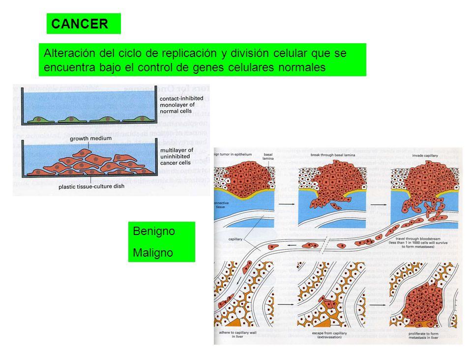 CANCER Alteración del ciclo de replicación y división celular que se encuentra bajo el control de genes celulares normales.